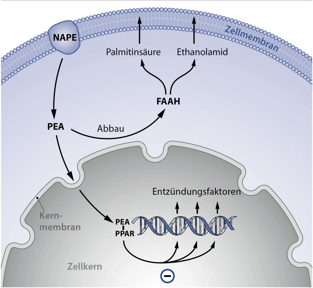 Die Wirkung von Palmitoylethanolamid FAAH
