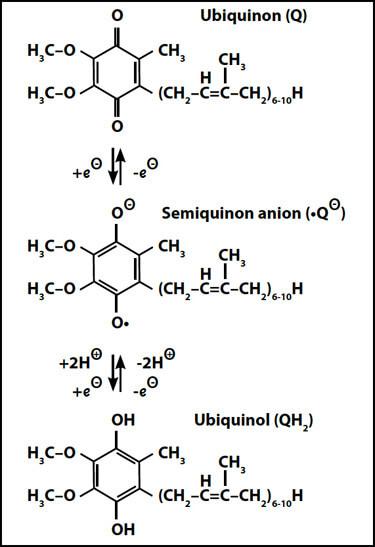 Die Umwandlung von Ubichinon in Ubichinol