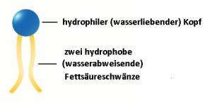 Ein Phospholipid