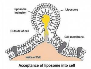 liposome-into-cell