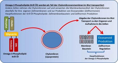Transport Omega-3 Triglyceride aus Krillöl