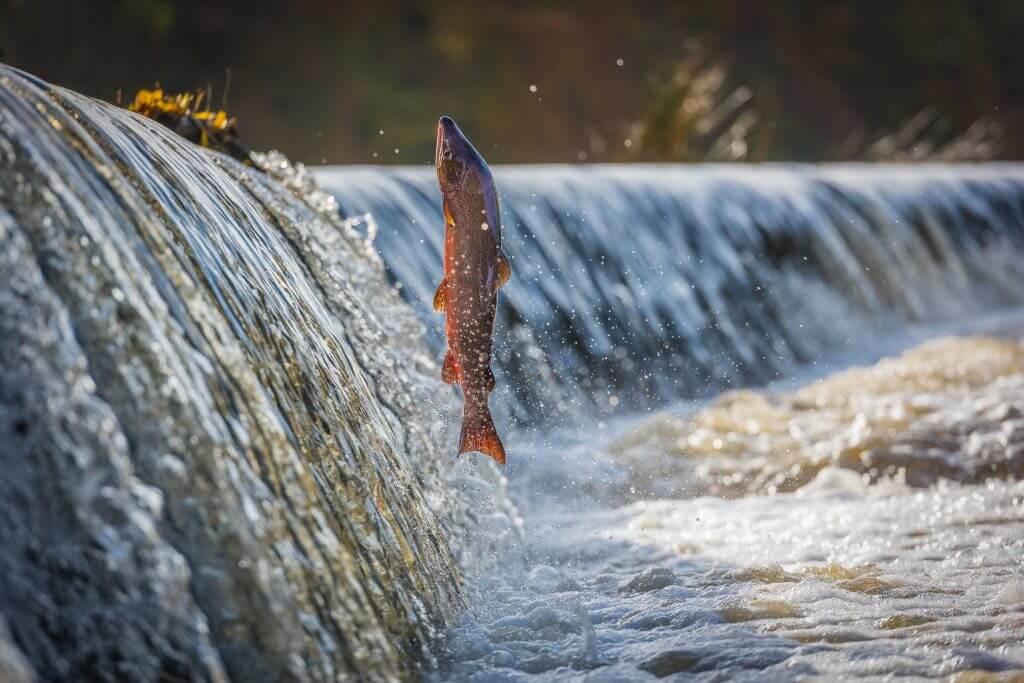 Männlicher Lachs springt über den Damm am Fluss Boyne bei Navan, Co Meath, Irland