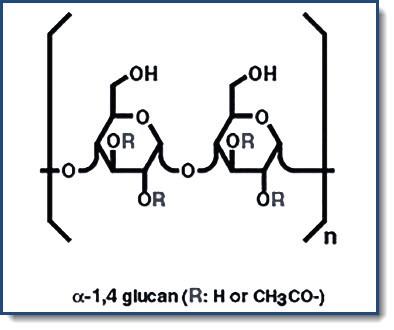 alpha glucan