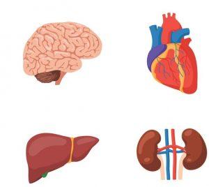 N-Acetyl-L-Cystein-Leber-Herz-Gehirn-Nieren