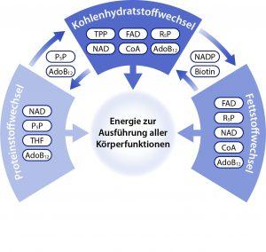 Abbildung 2: Die Rolle von B-Vitaminen als Coenzyme bei der Energieerzeugung aus Kohlenhydraten, Fetten und Proteinen