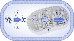 Abbildung 4: Vereinfachtes Schema von Glycolyse, Zitronensäurezyklus und oxidativer Phosphorylierung mit letztendlicher Bildung von ATP