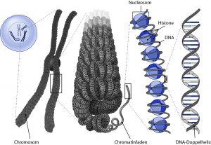 Abbildung 9: Die DNA in Chromosomen ist um Nukleosomen (aufgebaut aus mehreren Histonen) herumgewunden