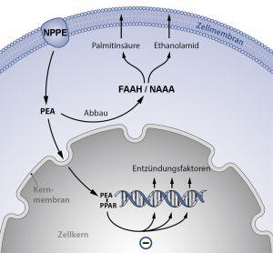 Palmitoylethanolamid-Metabolismus