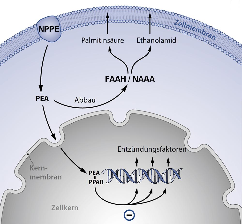 Die Wirkung von Palmitoylethanolamid